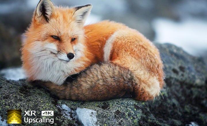 Hình ảnh con cáo biểu thị độ rõ nét 4K