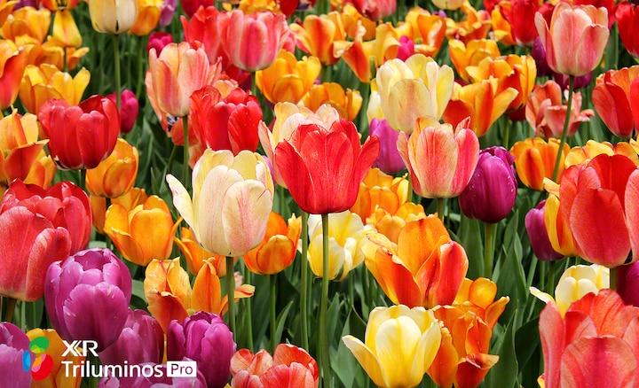 Chi tiết hoa thể hiện các sắc độ đậm nhạt, sáng tối khẽ thay đổi trên cánh hoa